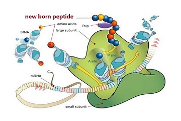 Do You Really Know About Peptides?