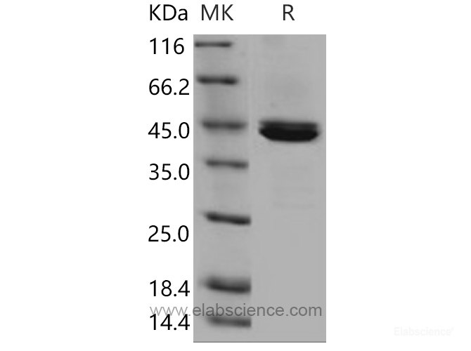 Recombinant Mouse Carboxypeptidase B1 / CPB1 Protein (His tag)-Elabscience