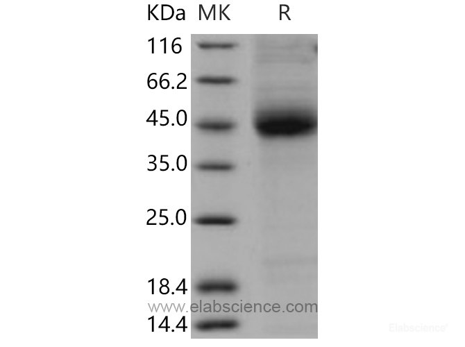 Recombinant Mouse CD1D / R3G1 Protein (His tag)-Elabscience