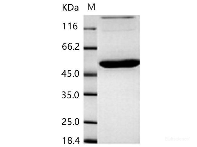 humán papillomavírus 31