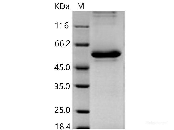 humán papillomavírus 45